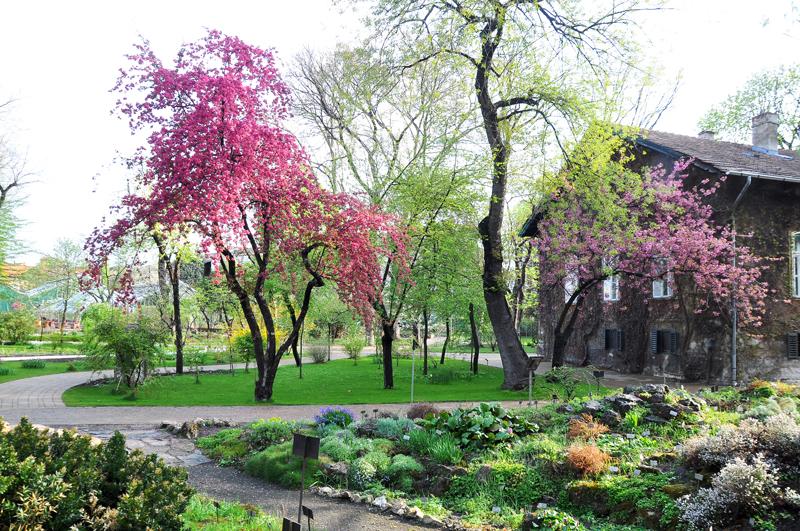 A fényképen a Füvészkert egyik fája látható, virágzás közben