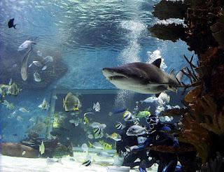A képen a Tropicárium cápája látható, medencében