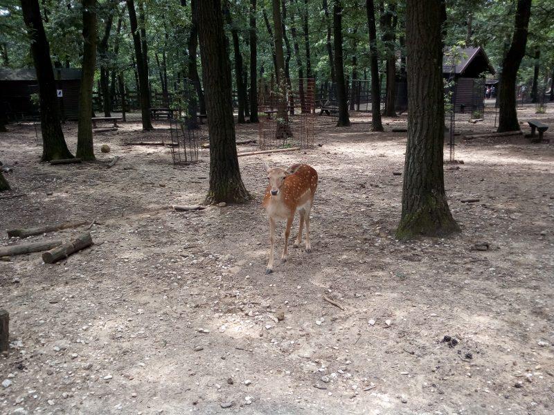A képen egy őzike látható a budakeszi vadasparkból
