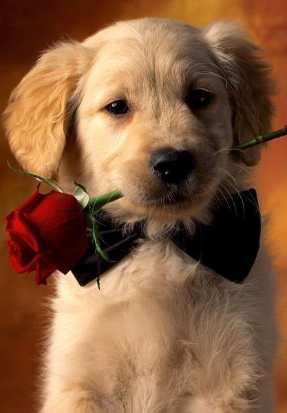 A képen egy kölyökkutya látható, egy szál rózsát tart a szájában