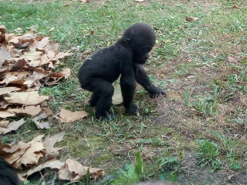 A képen egy gorillakölyök látható, aki főszerepet kapott az angyalföldi klub állatkerti programján