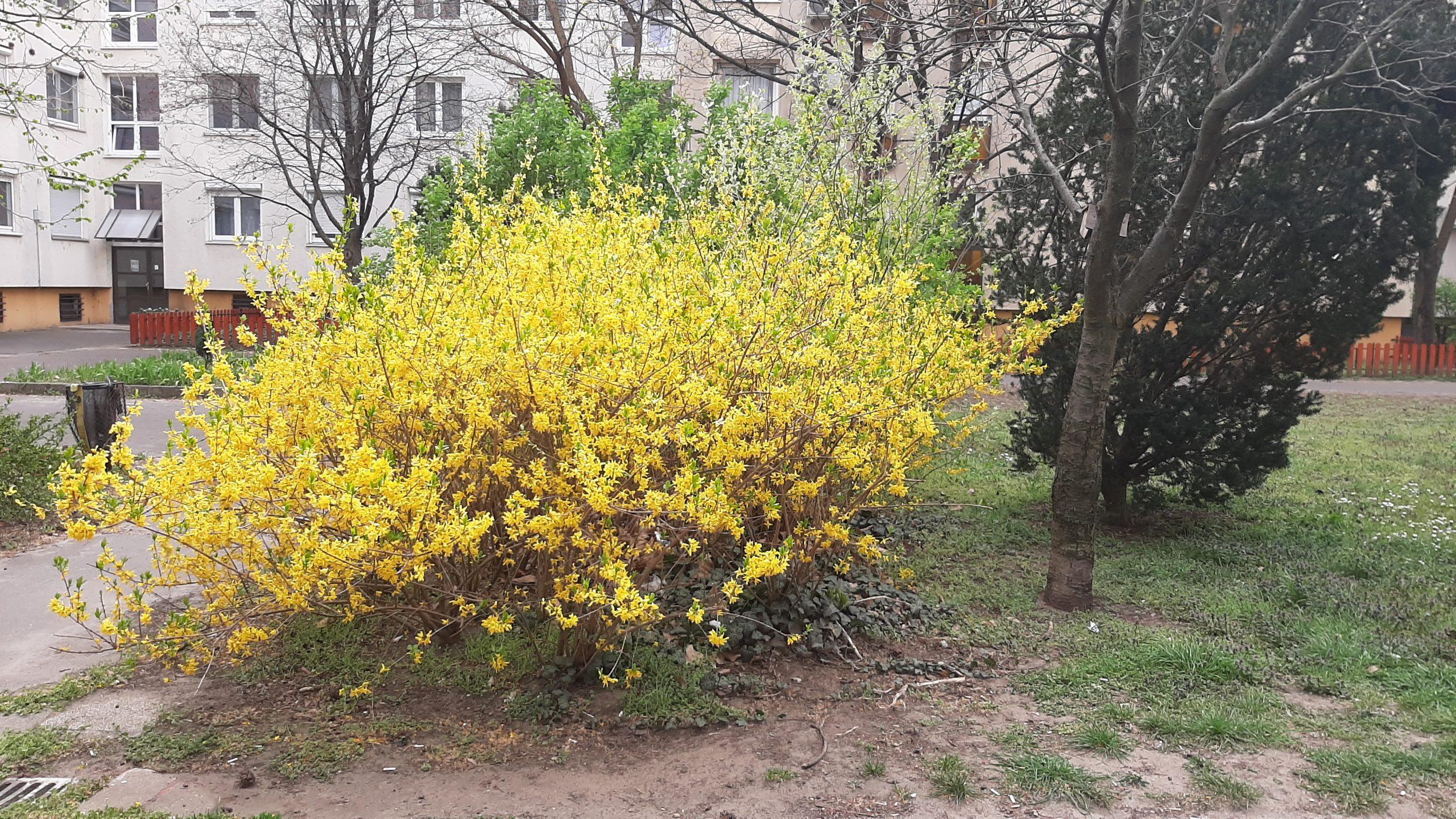 A képen virágzó aranyeső látható.