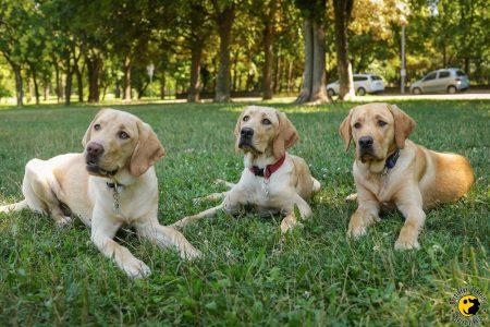 Három tanuló kutya fekszik a fotós előtt.