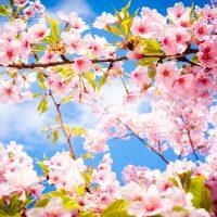 Tavaszi cseresznyevirágzás